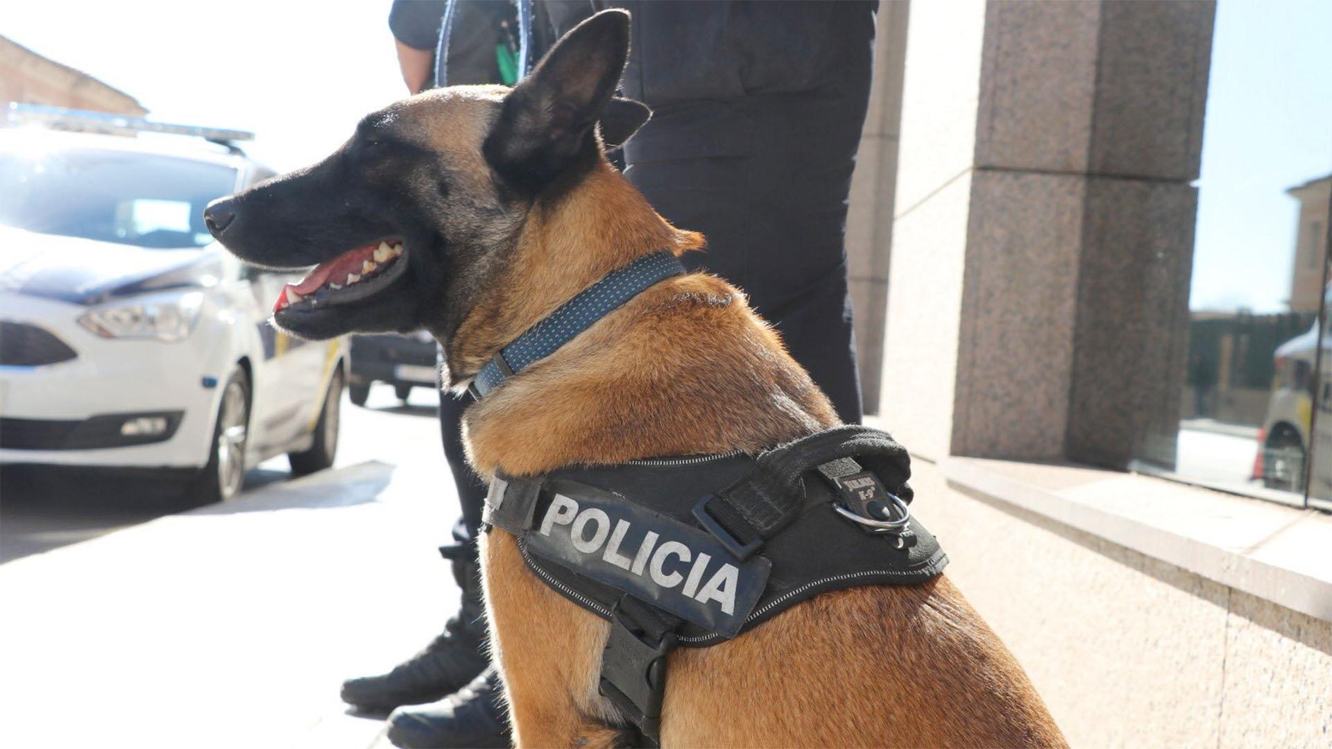 Nou gos que s'incorpora a la unitat Canina de la Policia Local de València