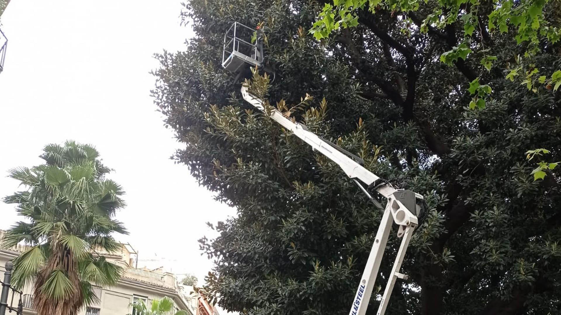 Els ficus són arbres de grans dimensions