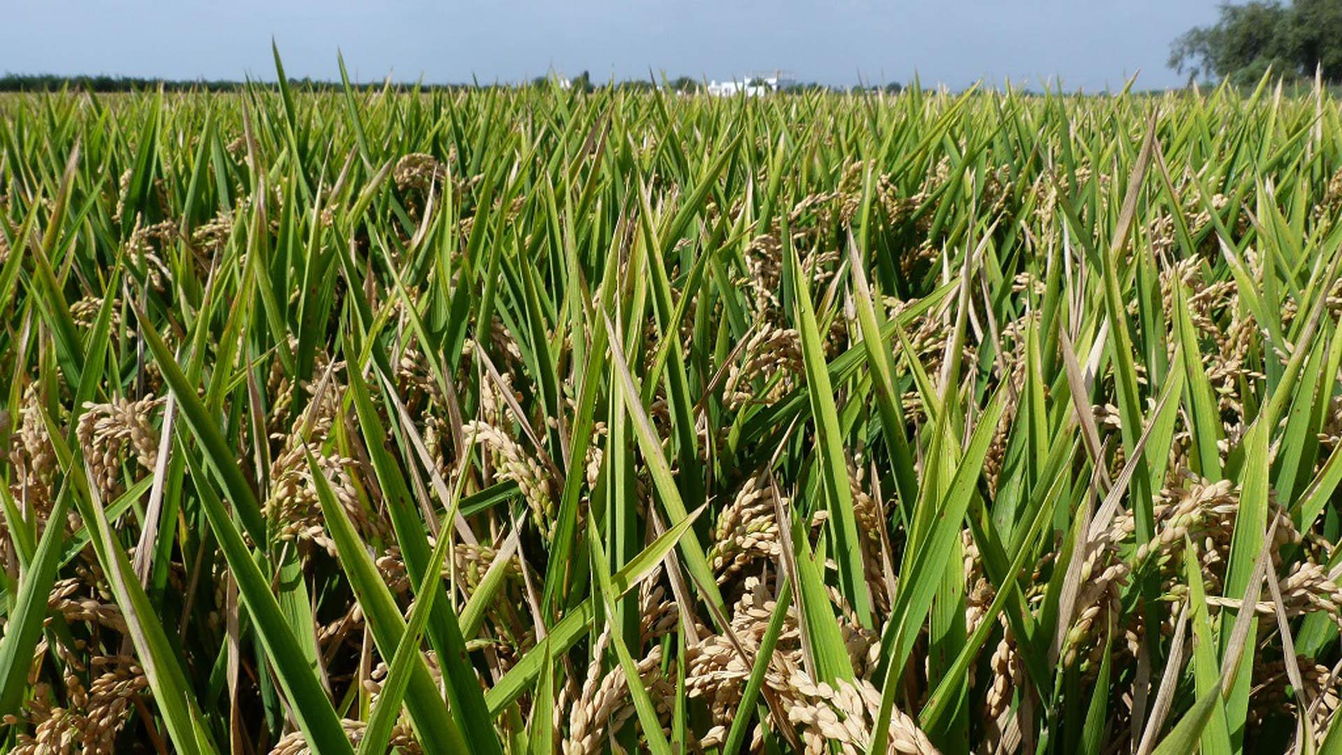 Convenio promoción arroz