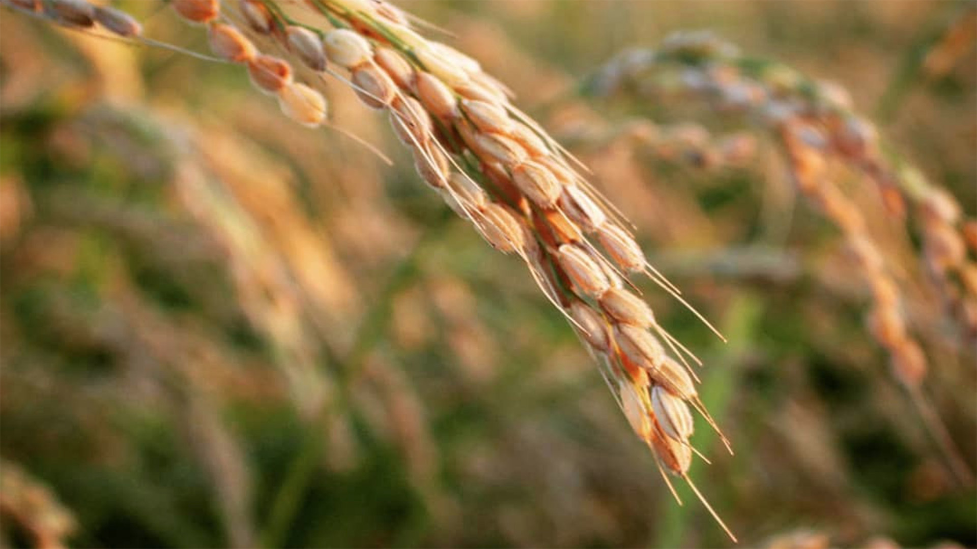 Firma convenio promoción arroz DO València